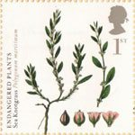 Plants - UK Species in Recovery 1st Stamp (2009) Sea Knotgrass
